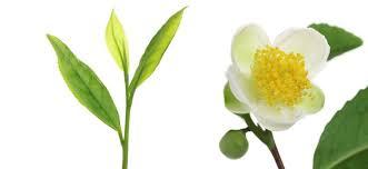 fleur et feuille de thA�